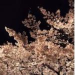 一目千本桜2017年の開花予想!見頃やアクセス、ライトアップ情報も!