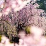 京都しだれ桜特集!2017年の見頃や名所、ライトアップ情報!