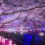 夜桜関東ライトアップ5選!2017年版!屋台ありでデートにおすすめ!