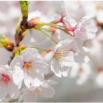 赤城南面千本桜の開花予想2017!見頃はいつ?ライトアップ情報も!