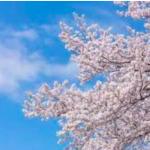 造幣局桜の通り抜け2017年の日程!見頃や見所を紹介!