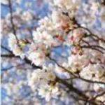 吉野千本桜2017年の見頃は?開花予想や駐車場、最適アクセスについて!