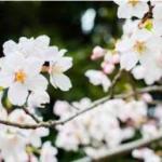 醍醐桜2017年の見頃は?開花予想と開花情報!駐車場と最適アクセス!
