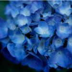 紫陽花祭り!愛知県で2017年のおすすめスポット特集!
